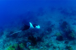 Manta Rays From Komodo National Park