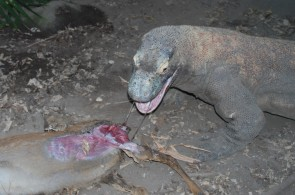 Komodo Dragon: Eating Behavior