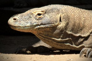 Komodo Dragon & Conservation