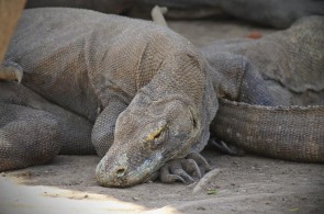 Getting Closer to Komodo Dragon