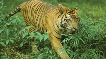 Bukit Barisan Selatan National Park: Home of the Sumatran Tigers
